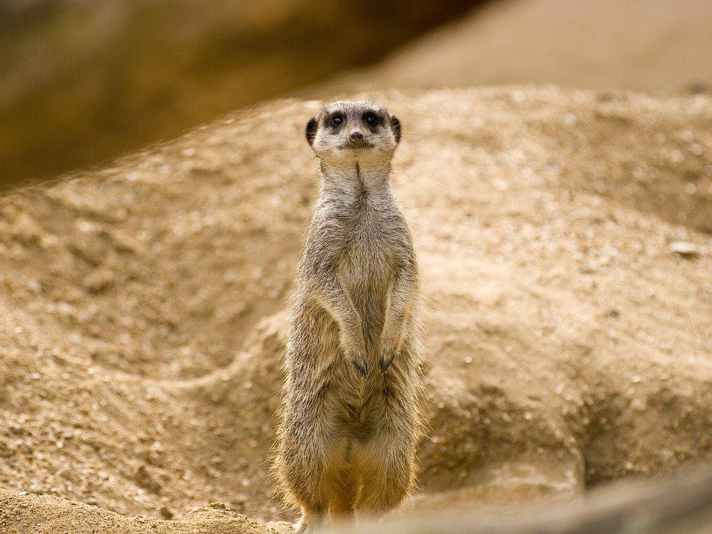 Nature Wallpaper: Meerkat