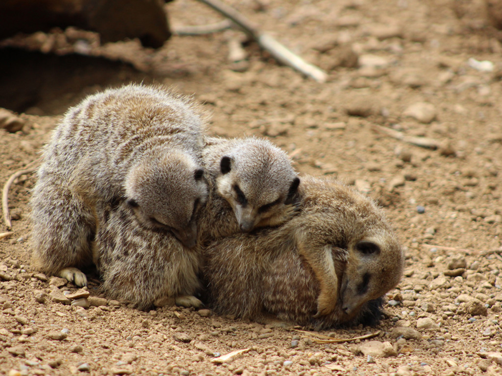 Nature Wallpaper: Meerkats - Sleeping