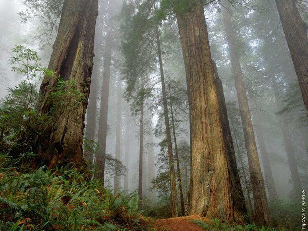 Nature Wallpaper: Mist Forest