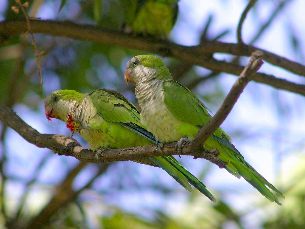 Nature Wallpaper: Monk Parakeets