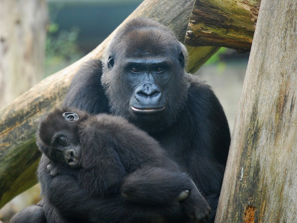 Nature Wallpaper: Mother Gorilla