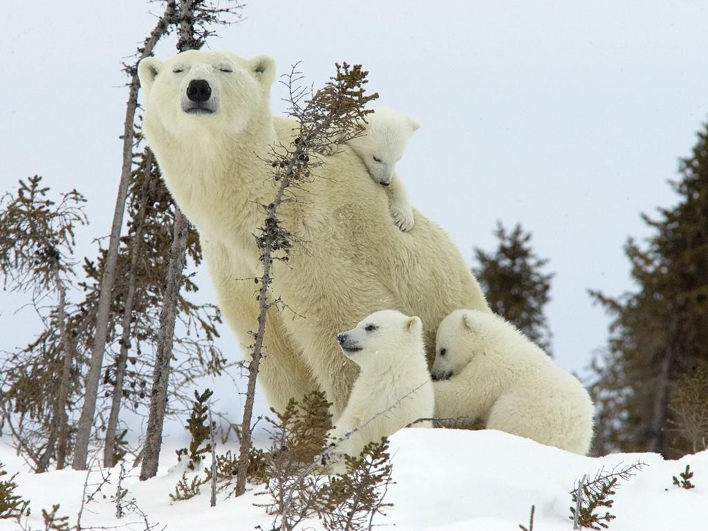 Nature Wallpaper: Mother Polar Bear and Cubs