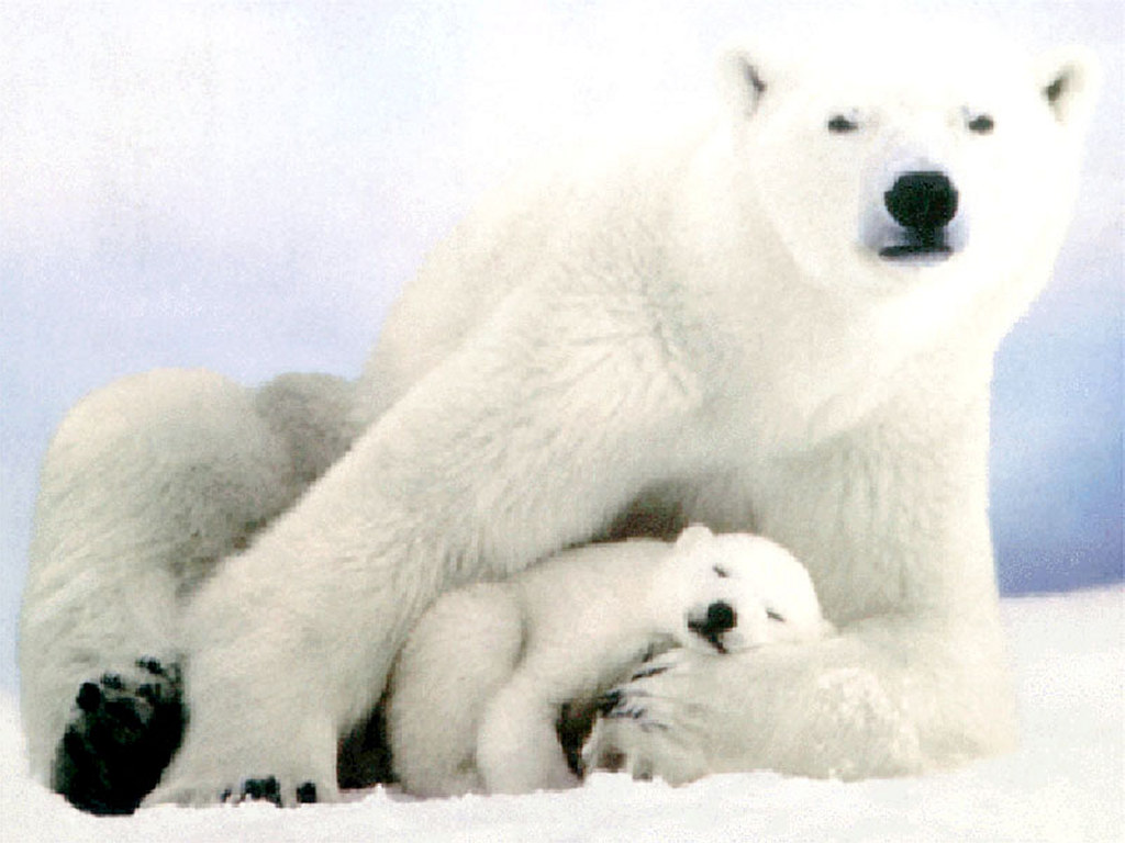 Nature Wallpaper: Mother Polar