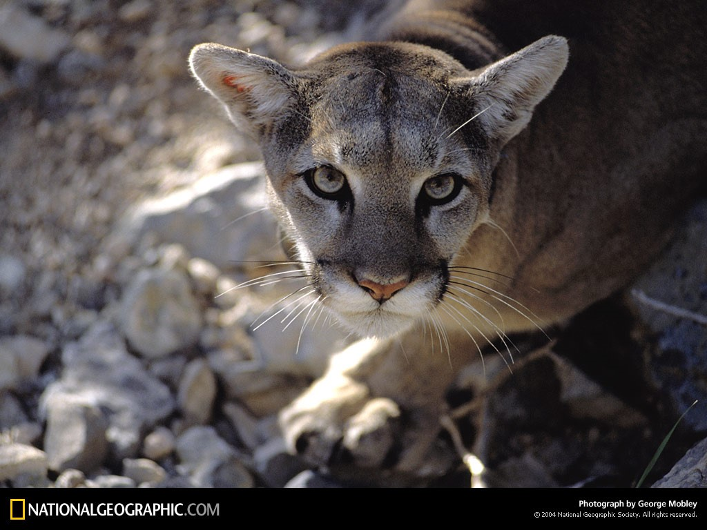 Nature Wallpaper: Mountain Lion