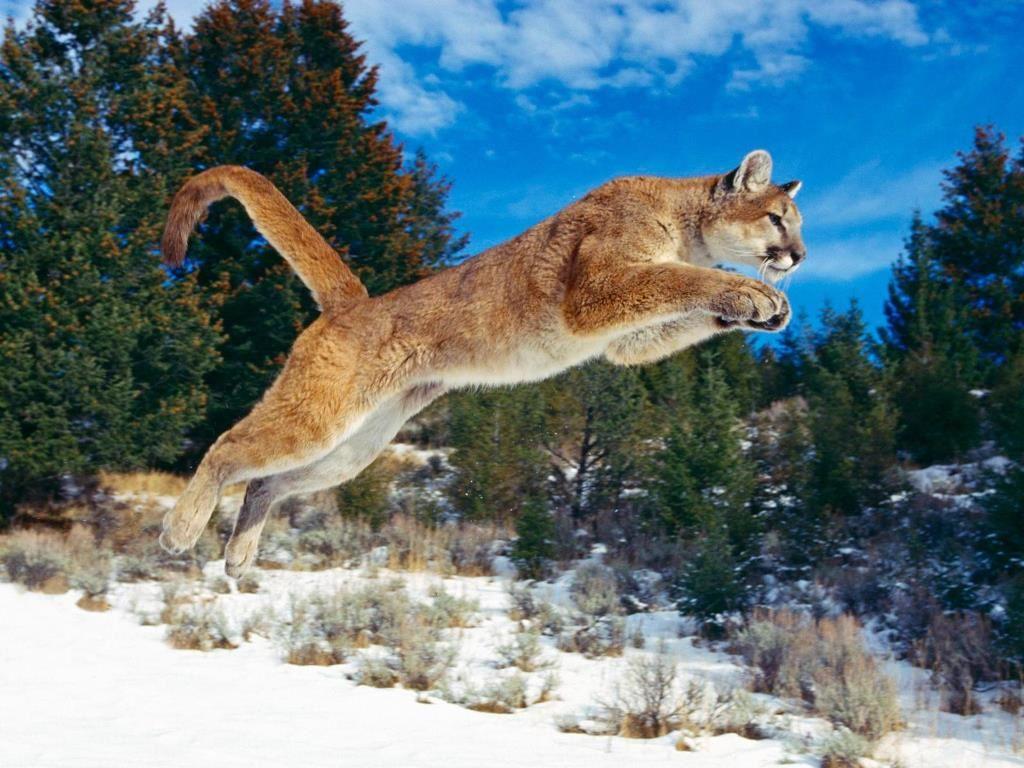Nature Wallpaper: Mountain Lion