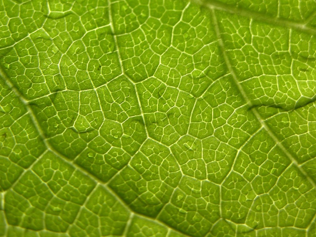 Nature Wallpaper: Leaf