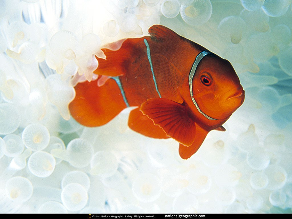 Nature Wallpaper: Clown Fish