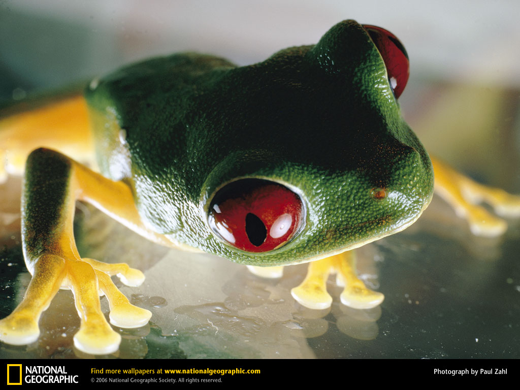 Nature Wallpaper: Red Eyed Tree Frog