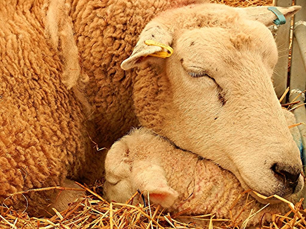 Nature Wallpaper: Newborn Lamb