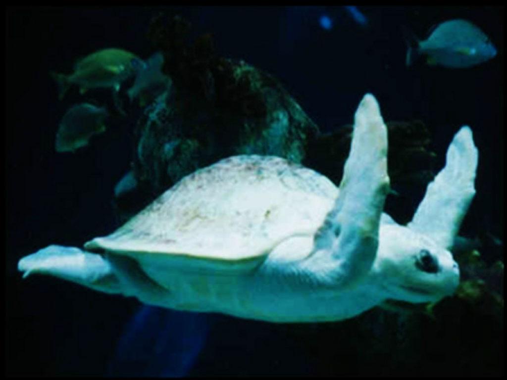 Nature Wallpaper: Ocean Turtle