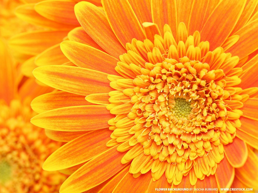 Nature Wallpaper: Orange Flower
