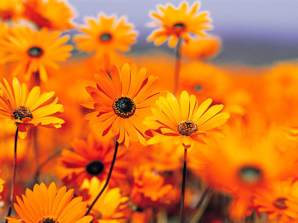 Nature Wallpaper: Orange Flowers