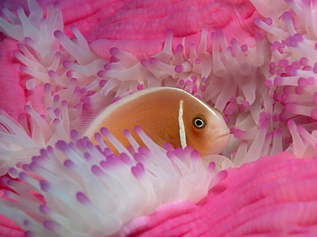 Nature Wallpaper: Angelfish
