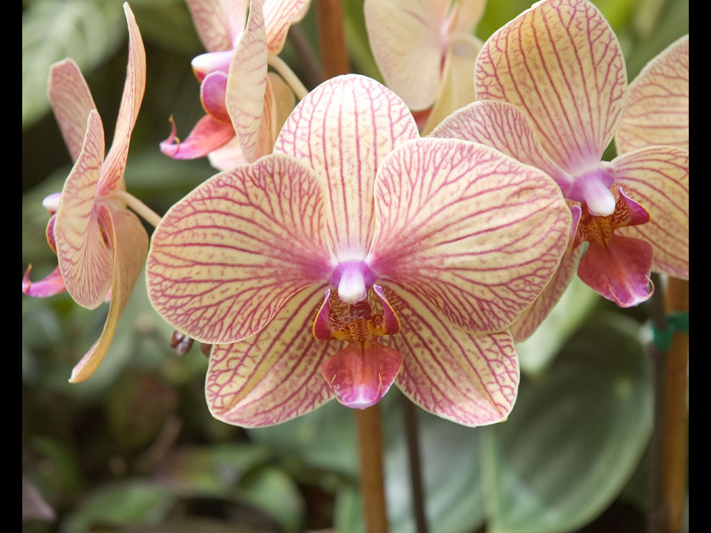 Nature Wallpaper: Orchid