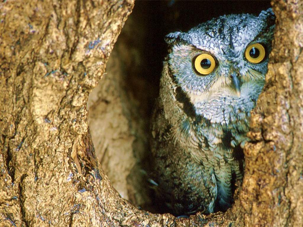 Nature Wallpaper: Owl - Nest