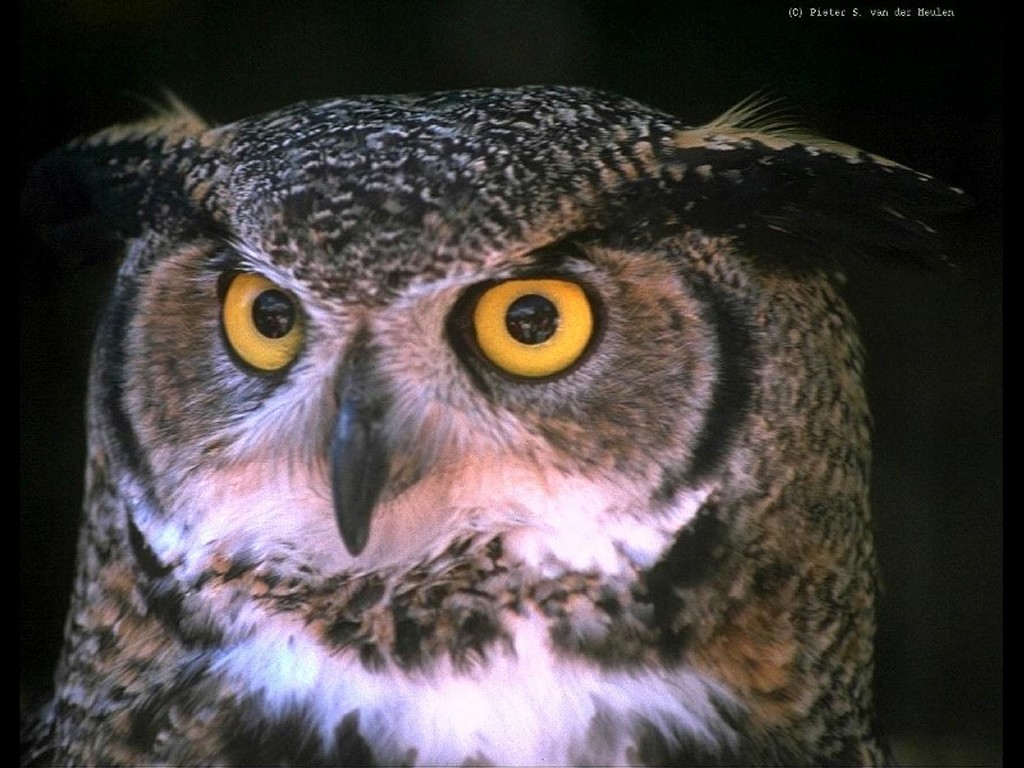 Nature Wallpaper: Owl