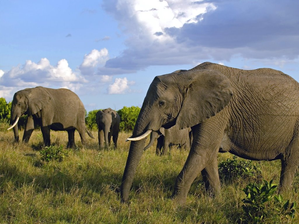 Nature Wallpaper: Pack of Elephants