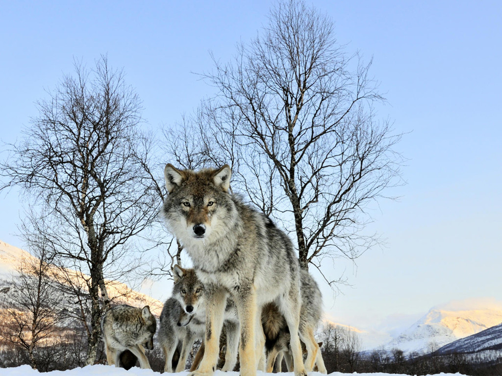 Nature Wallpaper: Pack of Wolves
