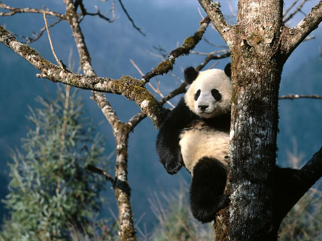 Nature Wallpaper: Panda