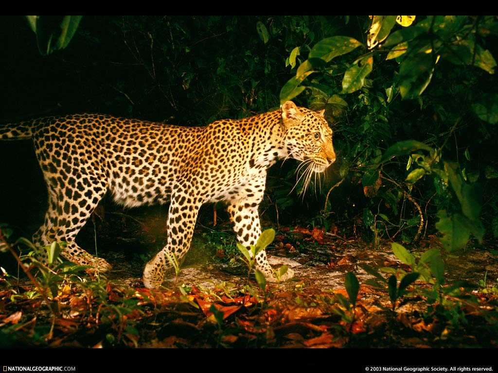 Nature Wallpaper: Panther