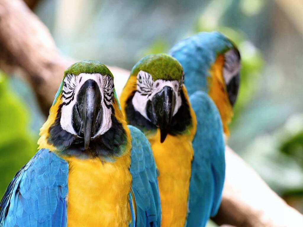 Nature Wallpaper: Parrots