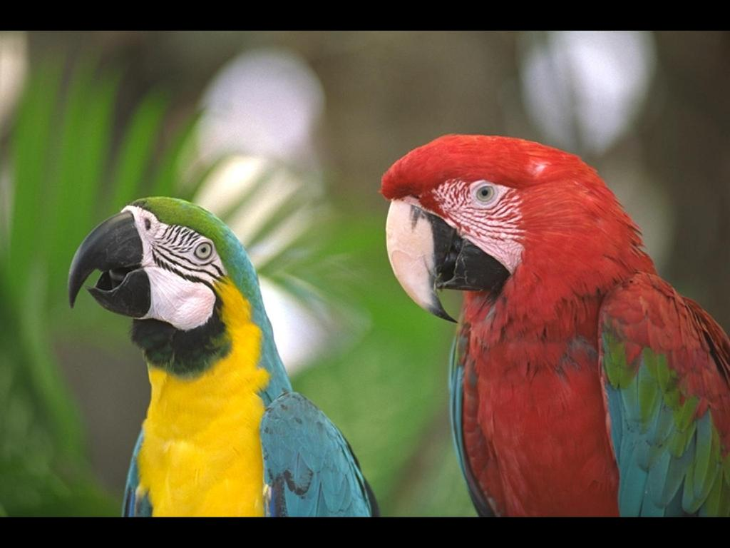 Nature Wallpaper: Parrots