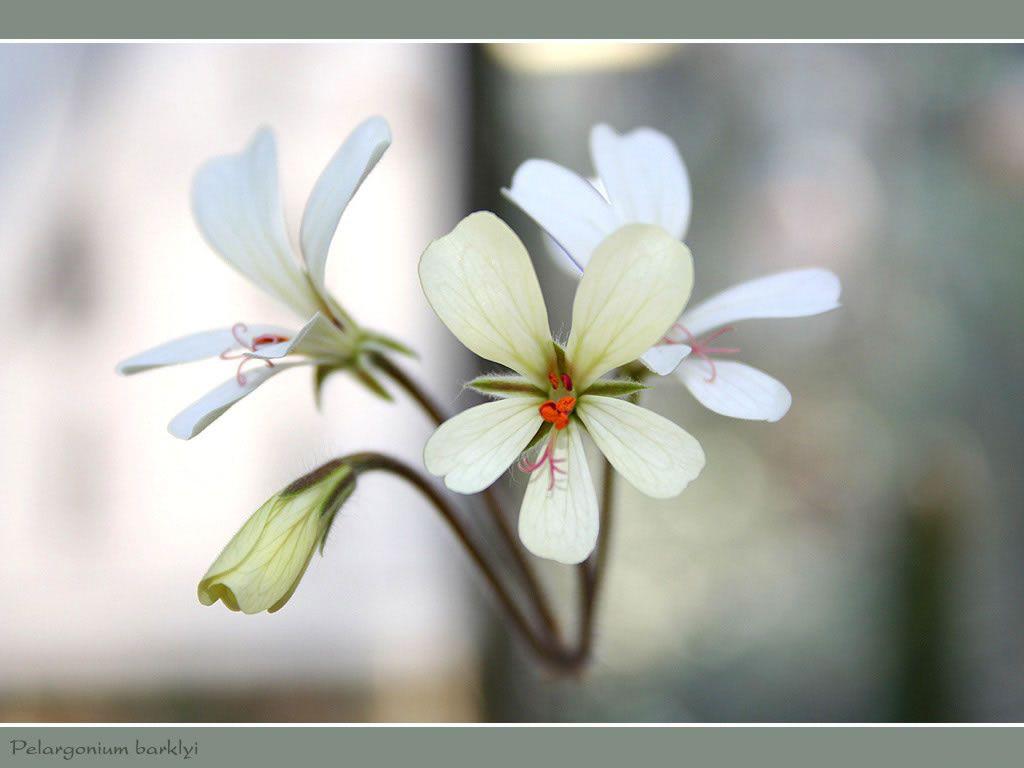Nature Wallpaper: Pelargonium