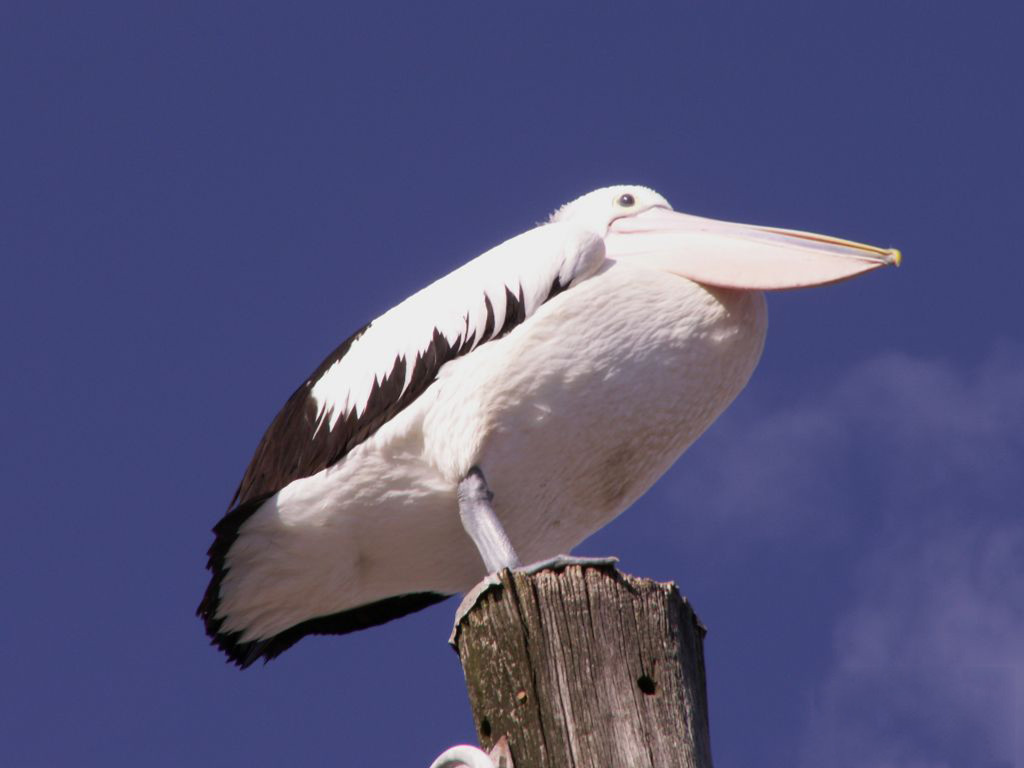 Nature Wallpaper: Pelican