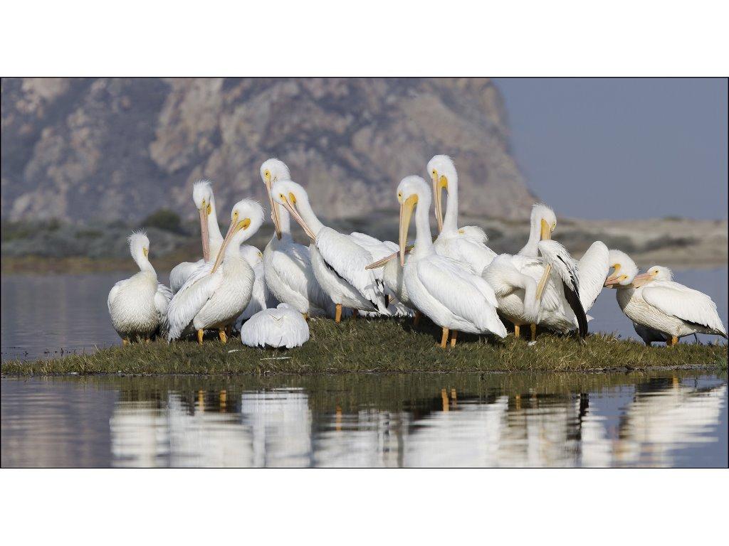 Nature Wallpaper: Pelicans