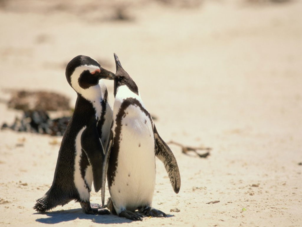 Nature Wallpaper: Penguin Couple