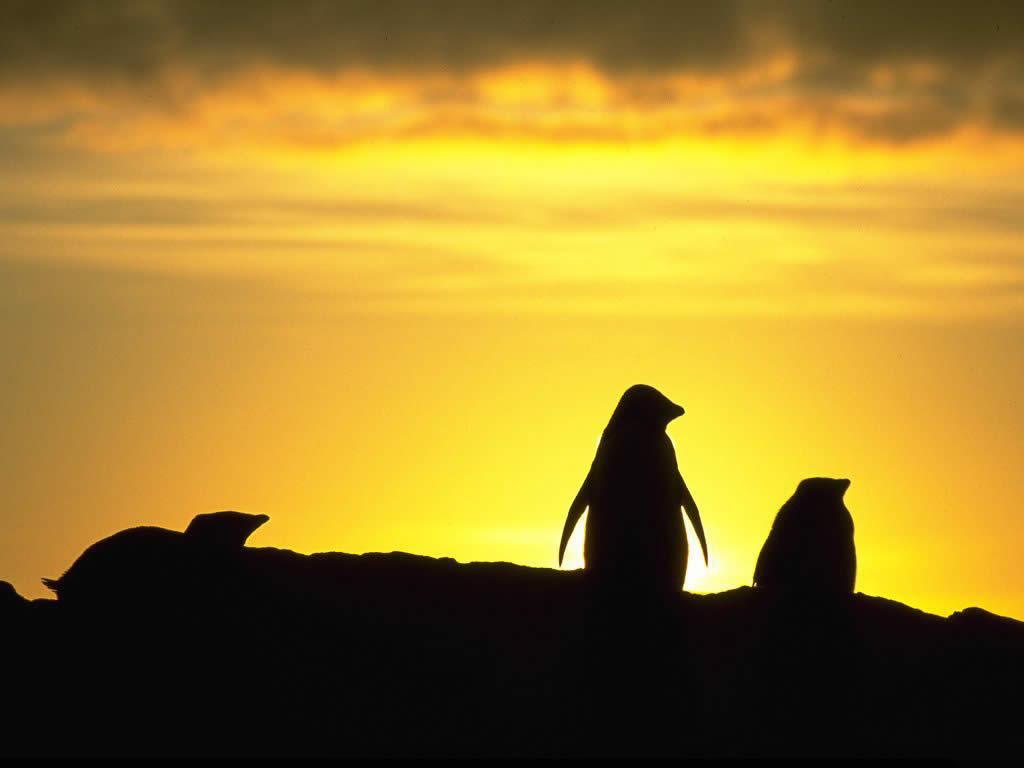 Nature Wallpaper:  Penguin - Sunset