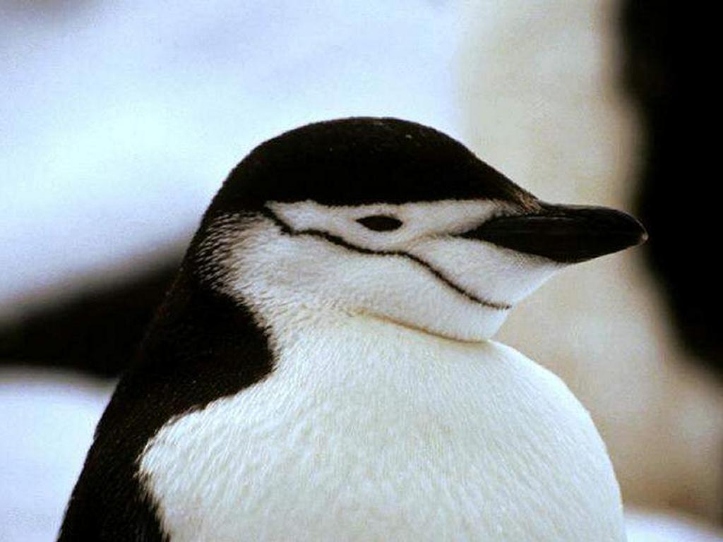 Nature Wallpaper: Penguin