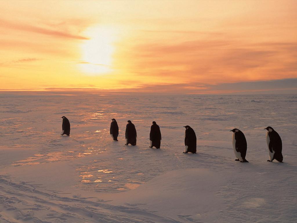 Nature Wallpaper: Penguins