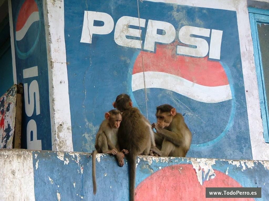 Nature Wallpaper: Pepsi Monkeys