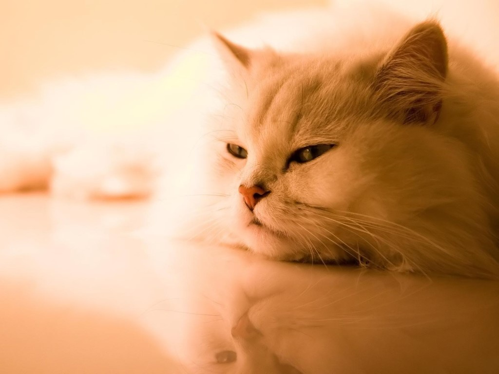 Nature Wallpaper: Persian Cat