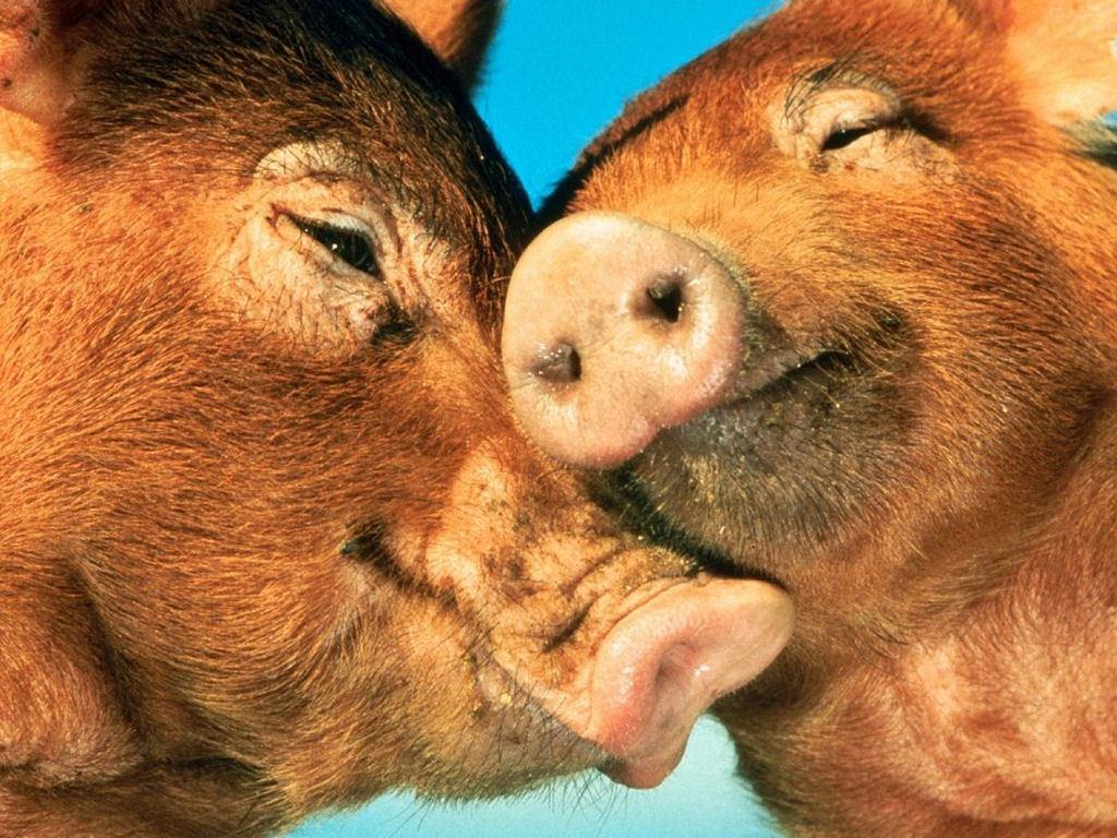Nature Wallpaper: Pigs in Love