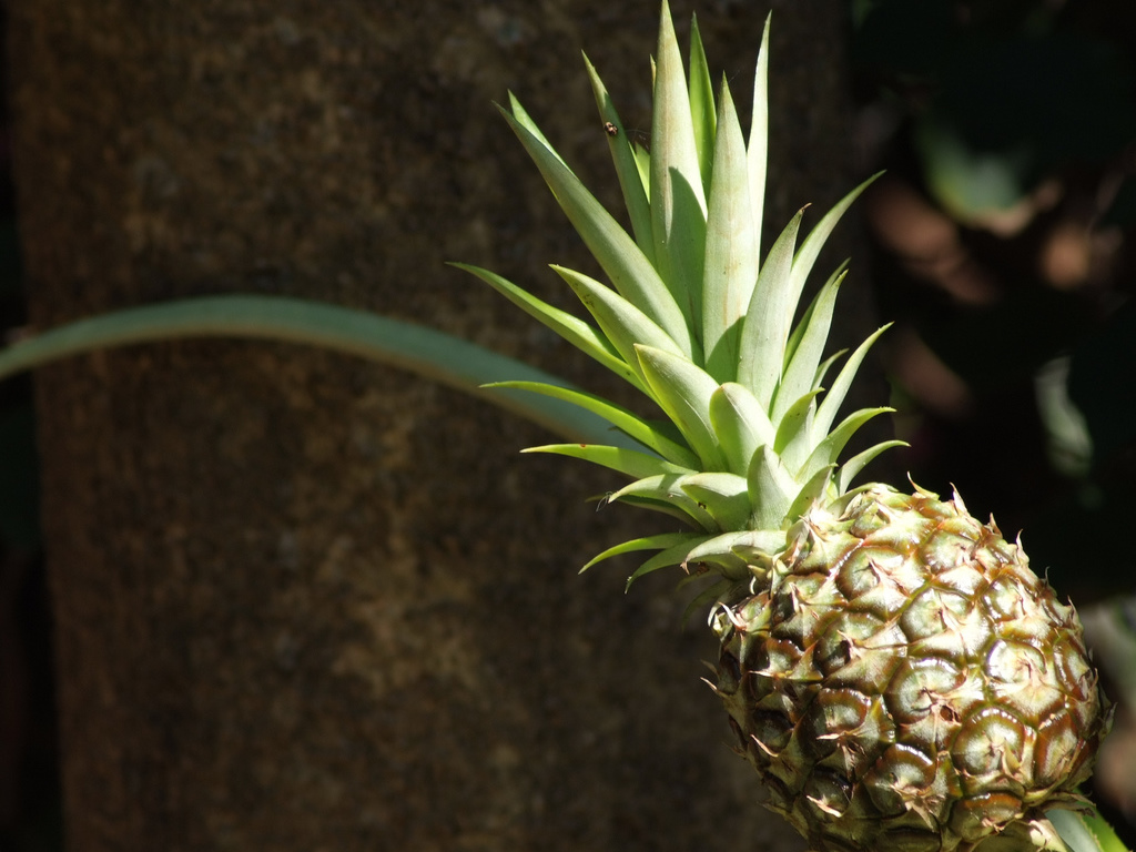 Nature Wallpaper: Pineapple