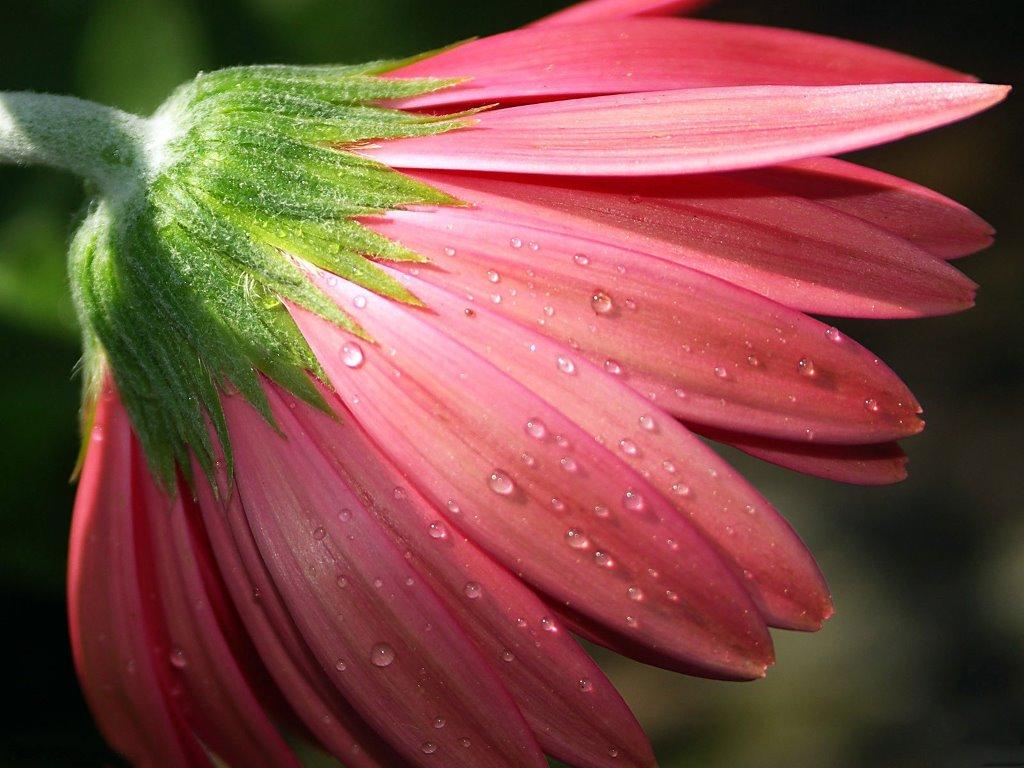 Nature Wallpaper: Pink Daisy