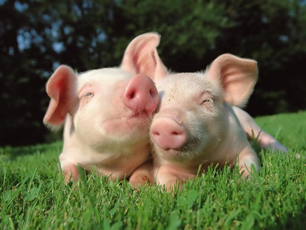 Nature Wallpaper: Pigs