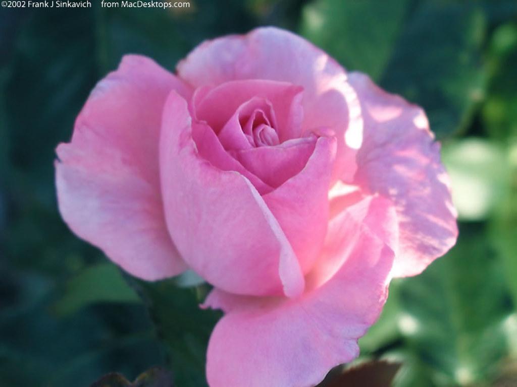 Nature Wallpaper: Pink Rose