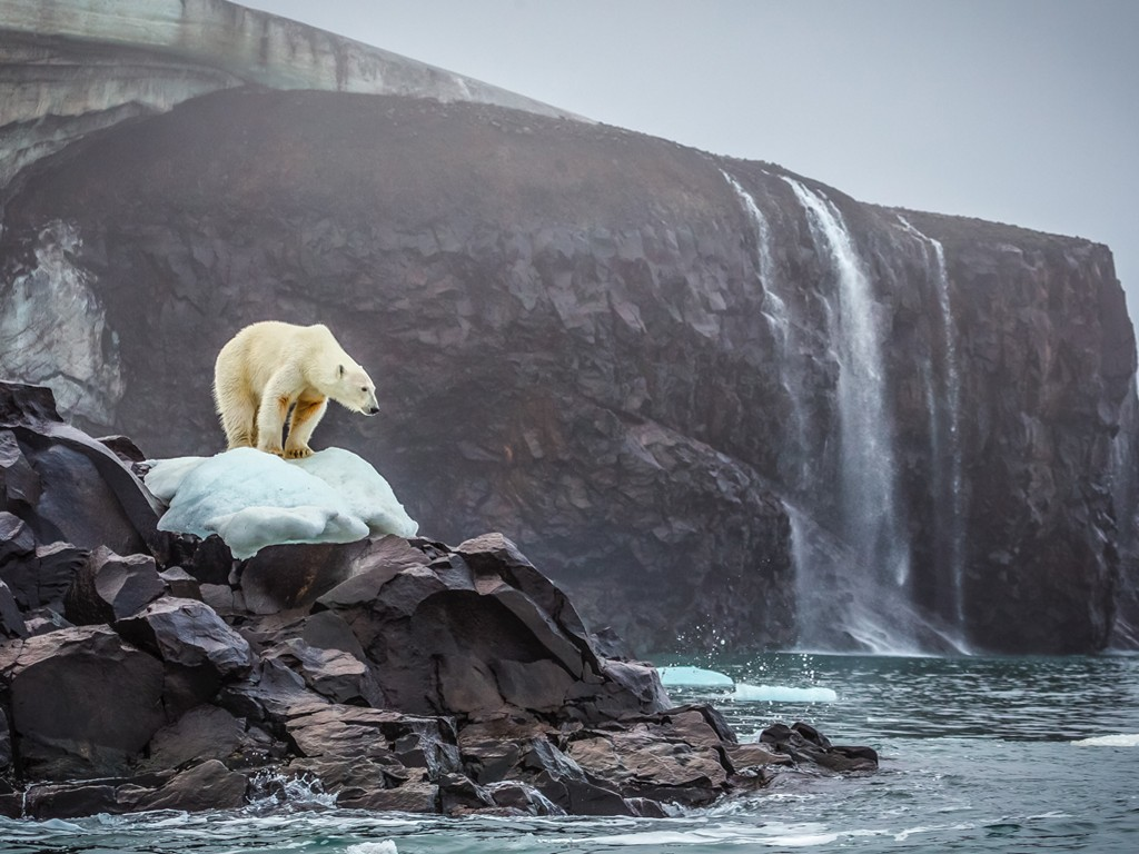 Nature Wallpaper: Polar Bear