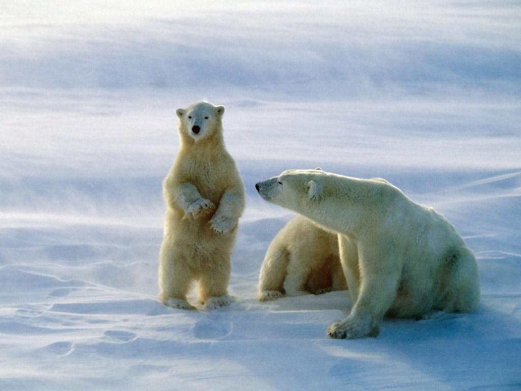 Nature Wallpaper: Polar Bears
