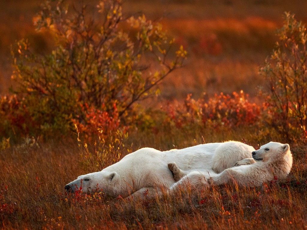 Nature Wallpaper: Polar Bears - Chilling Out