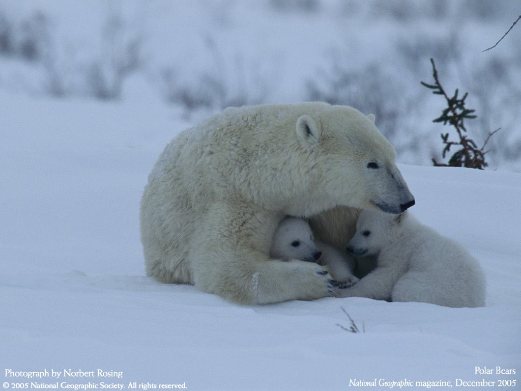 Nature Wallpaper: Polar Bears - Mother and Cubs
