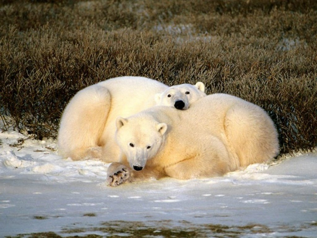Nature Wallpaper: Polar Bears