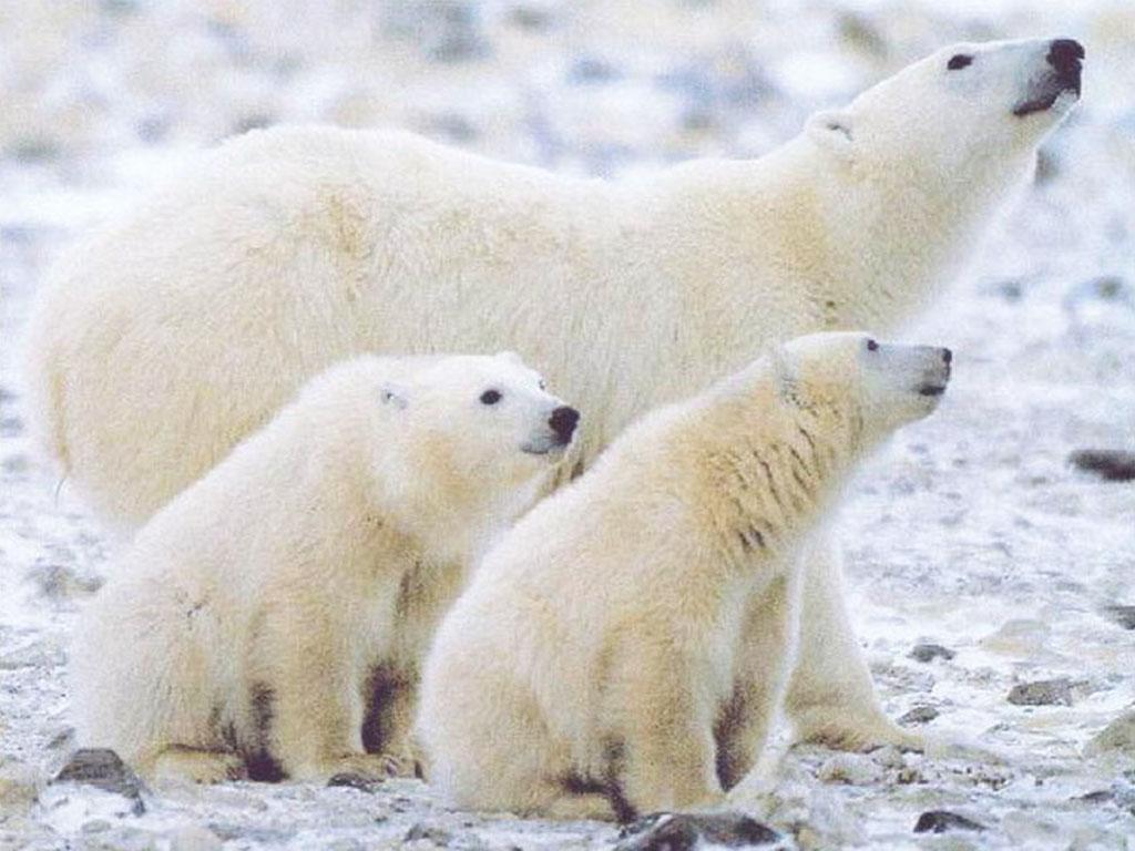 Nature Wallpaper: Polar Family
