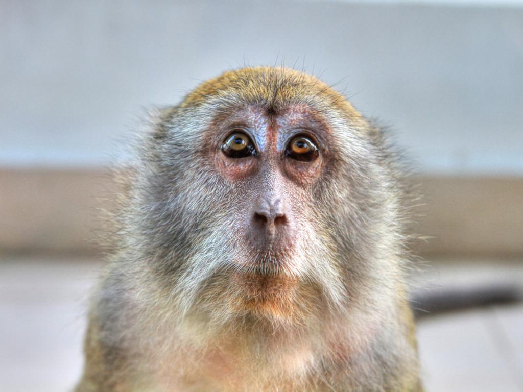 Nature Wallpaper: Monkey