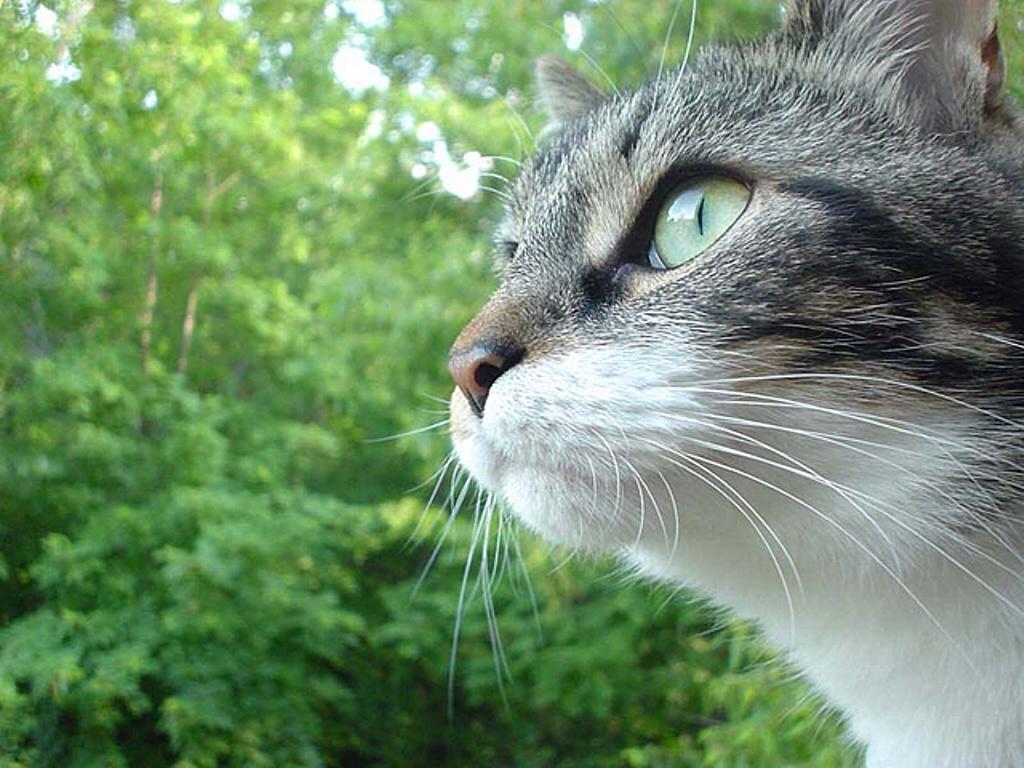 Nature Wallpaper: Portrait of a Cat
