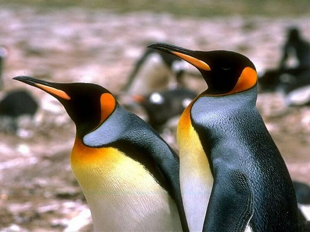 Nature Wallpaper: Proud Penguins