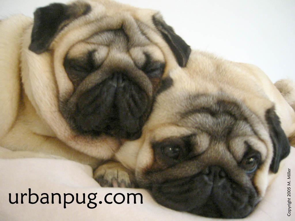 Nature Wallpaper: Pugs